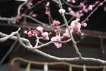霊山-八坂の梅