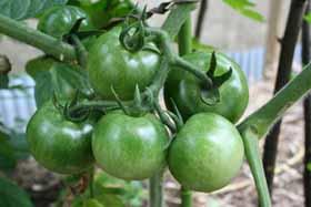 庭-トマト