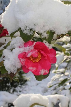 雪の山茶花_20110310