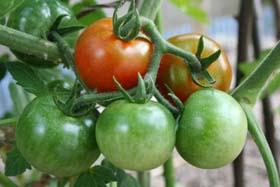 トマト色付き