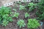 野菜-植えたころ