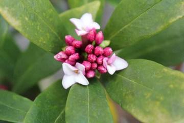 庭の花-沈丁花