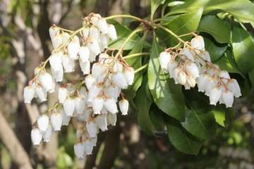 庭の花-馬酔木