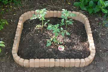 トマトを植える-後