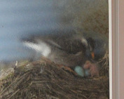 鳥の巣_0611