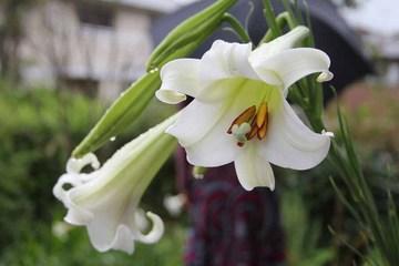 百合の花01