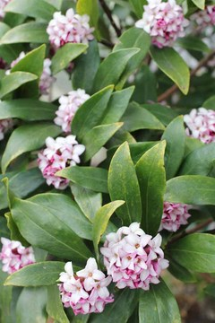 0407-庭の沈丁花