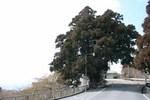 一本杉-展望台