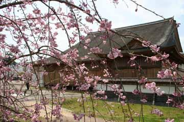 篠山の桜-1