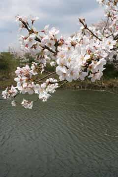 篠山の桜-2