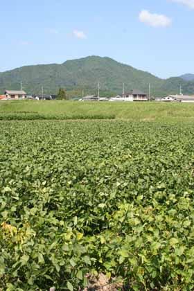 黒豆-川北