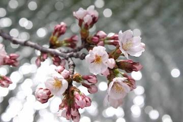 0407-篠山の桜