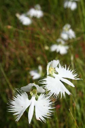 西光-鷺草