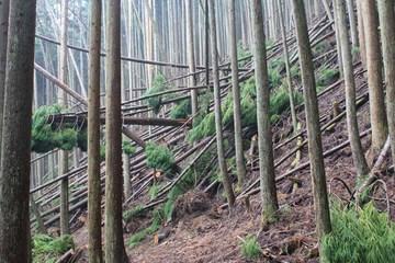 周山城の倒木